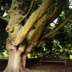 Ancient Tree, Kew, 2007, chromogenic print, 84 x 70 cm.