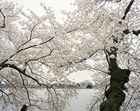 Sakura_Sakura_washington_200px