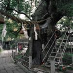 A-bombed Giant Camphor Tree, Nagasaki, approximately 600 meters from the hypocenter, 2013, Chromogenic print, 30 x 40 inch.