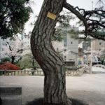 A-bombed Japanese Black Pine Tree, Tsuruhane Shrine, Hiroshima, 1810 meters from the hypocenter, 2008, Chromogenic print, 30 x 40 inch.