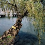 Katy McCormick, A-bombed Weeping Willow Tree, Hiroshima, 1400 meters from the hypocenter, Chromogenic Print, 2013, 30 x 40 inch.