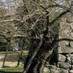 Katy McCormick, A-bombed Pussy Willow Tree Near Hiroshima Castle (side view), 770 meters from the hypocenter, Chromogenic Print, 2013, Chromogenic print, 30 x 40 inch.